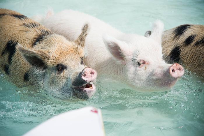Exuma '13 - Iguanas & Pigs
